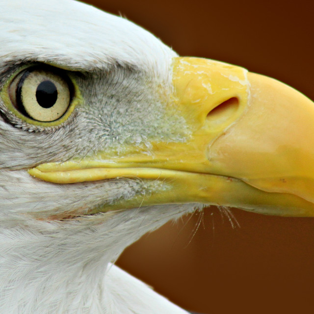 """Bald Eagle profile"" stock image"