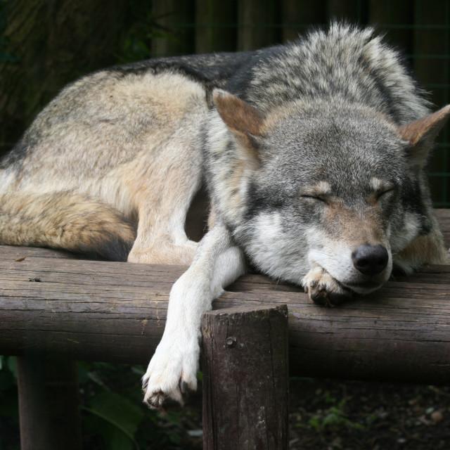 """""""Sleepy wolf"""" stock image"""