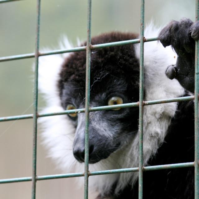 """""""Ruffed lemur"""" stock image"""