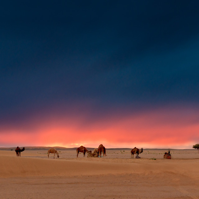 """Camels at Sunset, Sahara"" stock image"