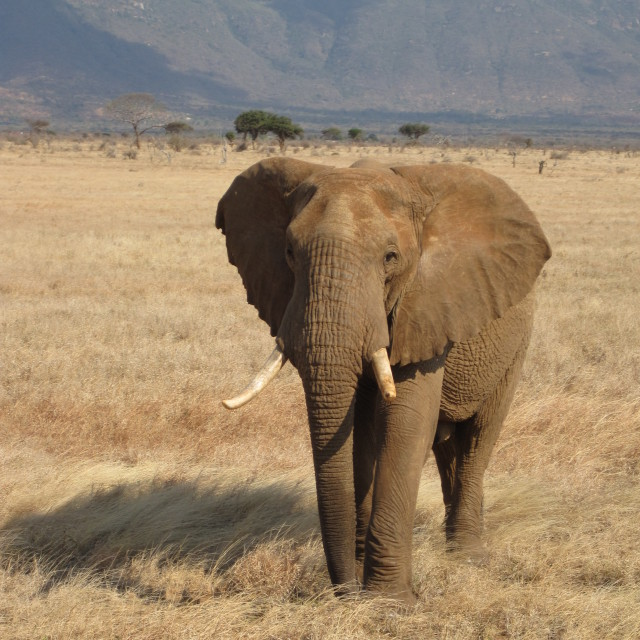 """Lonely Elephant"" stock image"