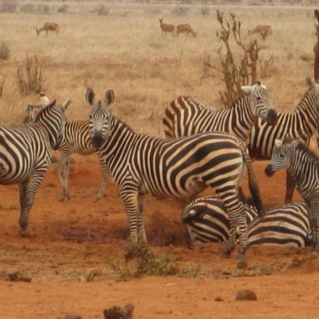 """Zebra"" stock image"