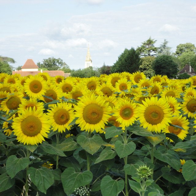 """French sunflowers"" stock image"
