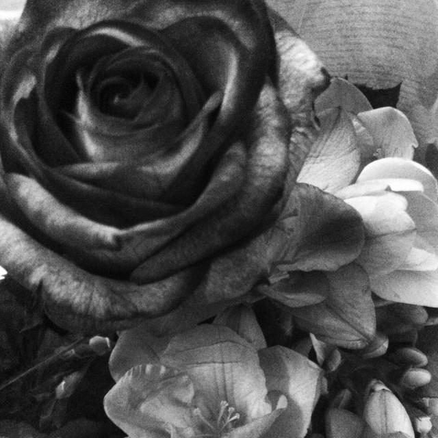 """""""Gothic Rose"""" stock image"""