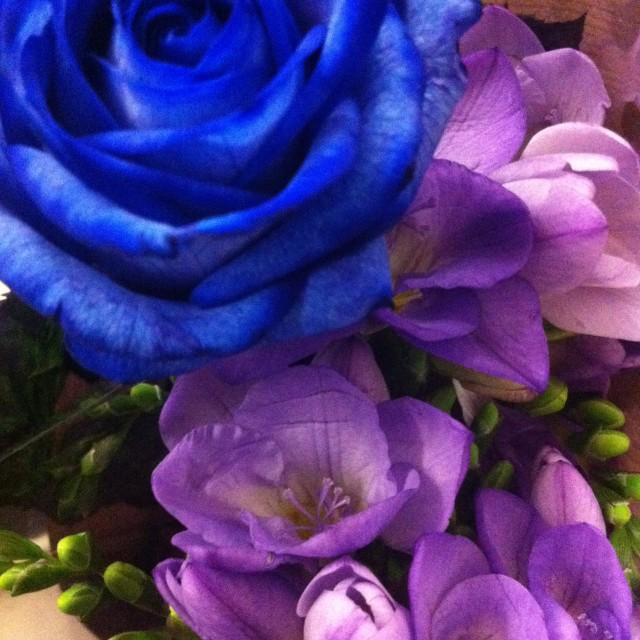 """Blue Rose"" stock image"