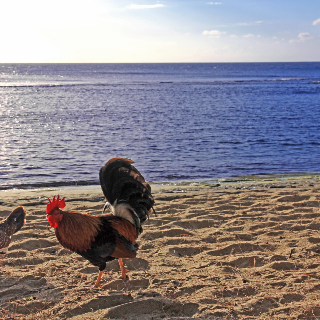 """""""Chickens on the beach"""" stock image"""