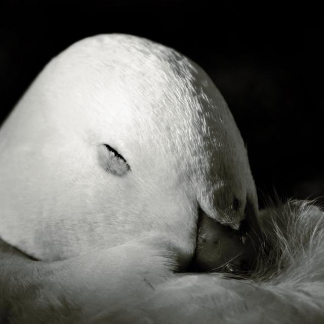 """""""Sleepy Duck"""" stock image"""