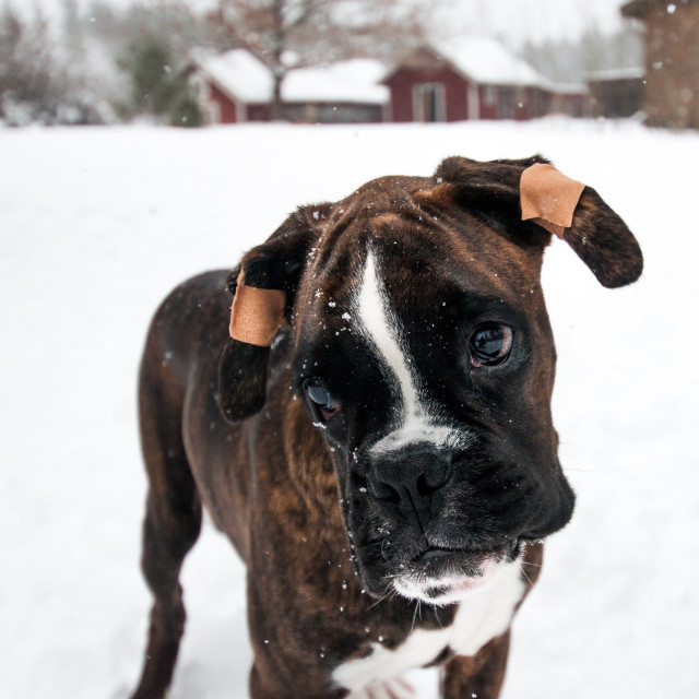 """Boxer dog"" stock image"