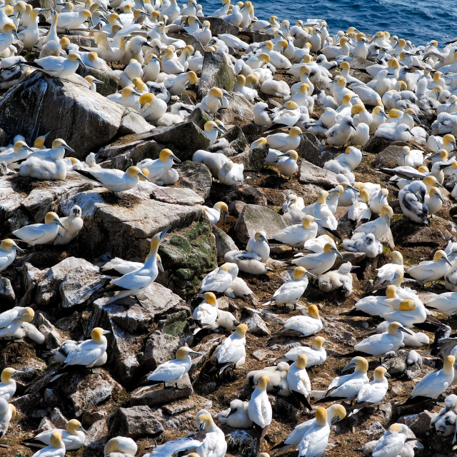 """Northern Gannets"" stock image"