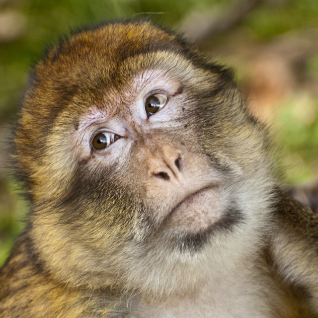 """Close up of Barbary Macaque's face during preening"" stock image"