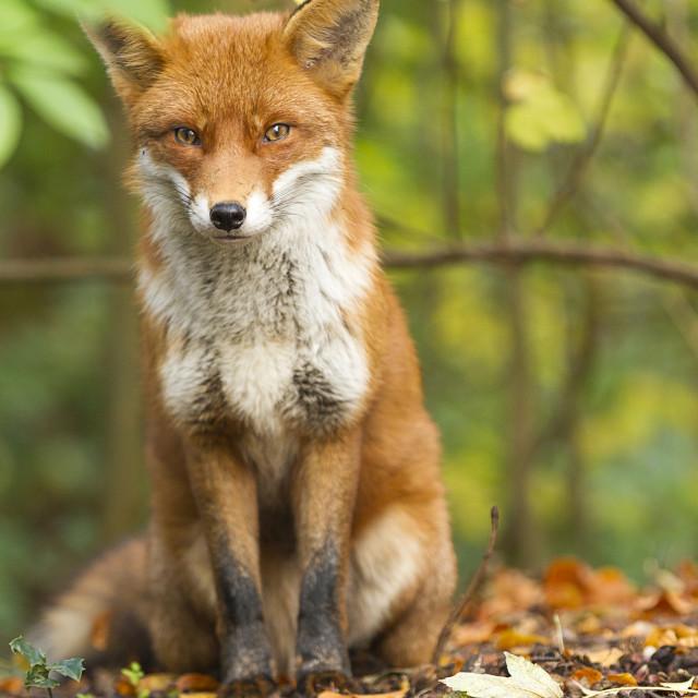 """""""Wild Red Fox, UK"""" stock image"""