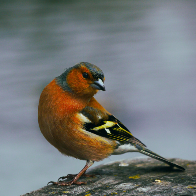 """""""Cheeky Chaffinch"""" stock image"""
