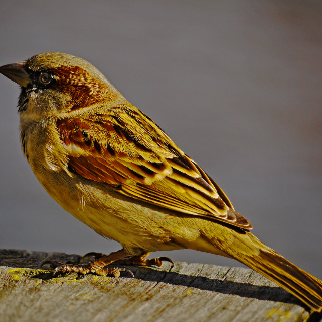 """Hedge Sparrow"" stock image"