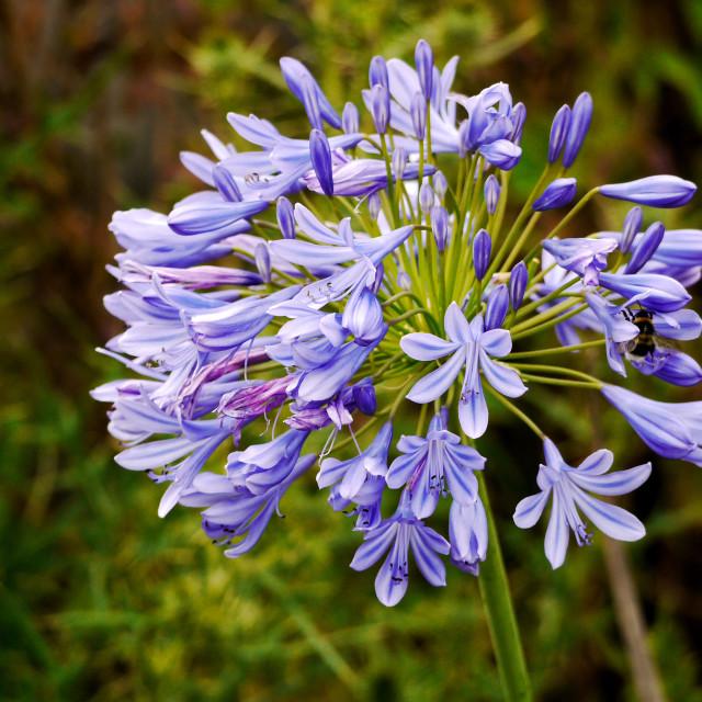 """Agapanthus flowers"" stock image"