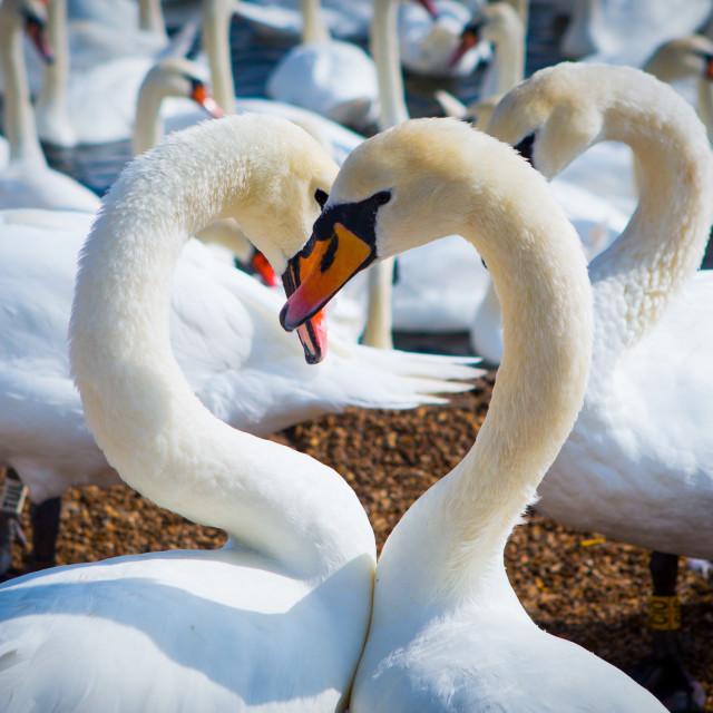 """Heart Swans"" stock image"