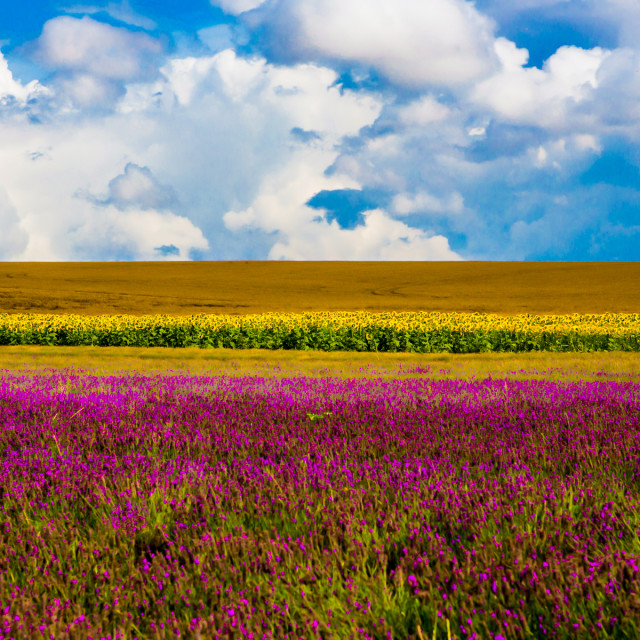 """Lavender and Sunflower Fields"" stock image"