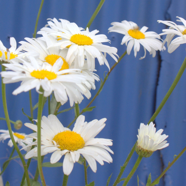 """""""Summertime Daisies"""" stock image"""