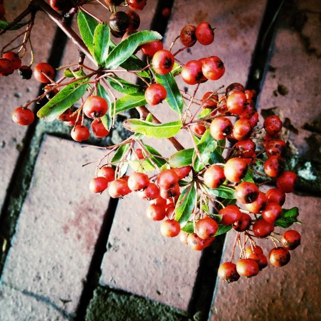 """Autumn berries"" stock image"