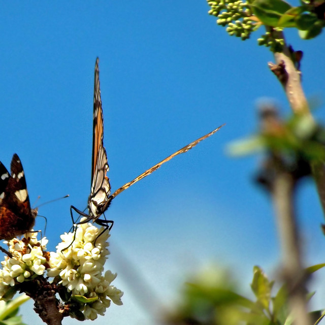 """""""painted lady and monarch butterflies"""" stock image"""