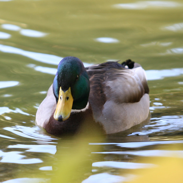 """Duck"" stock image"