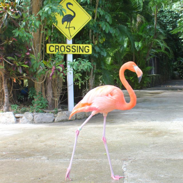 """Why did the flamingo cross the road?"" stock image"