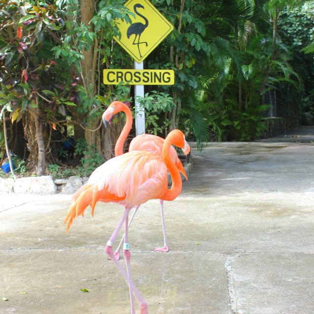"""Flamingoes crossing"" stock image"