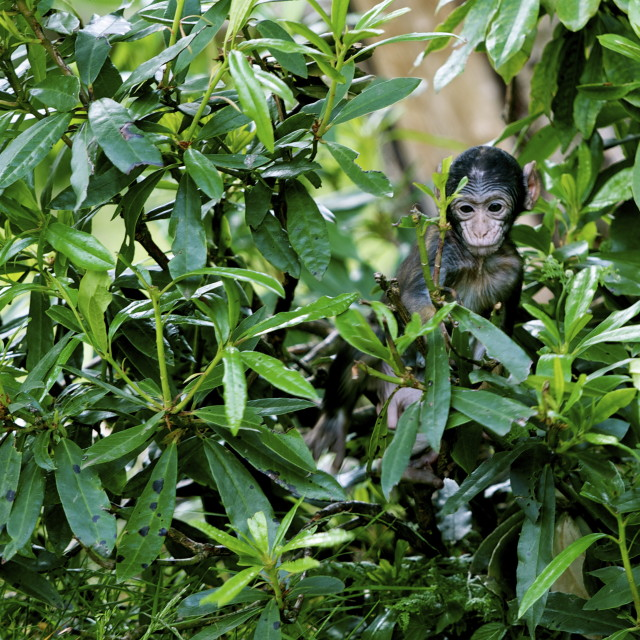 """Baby Macaque in bushes"" stock image"