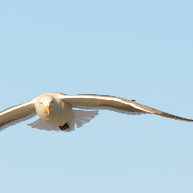 """Seagull flying"" stock image"