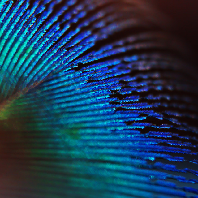 """Peacock Feather"" stock image"