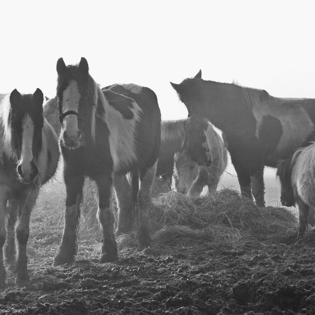 """Horses In The Mist"" stock image"