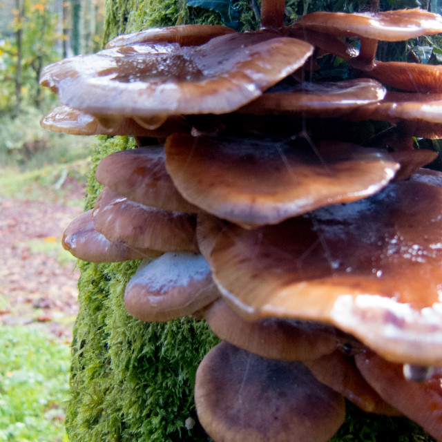 """autumn fungus 3"" stock image"