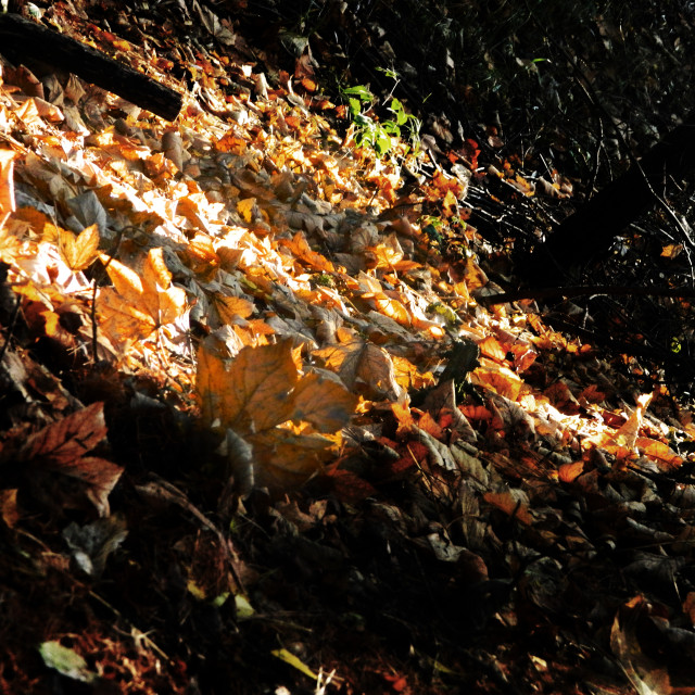"""Fallen Leaves"" stock image"