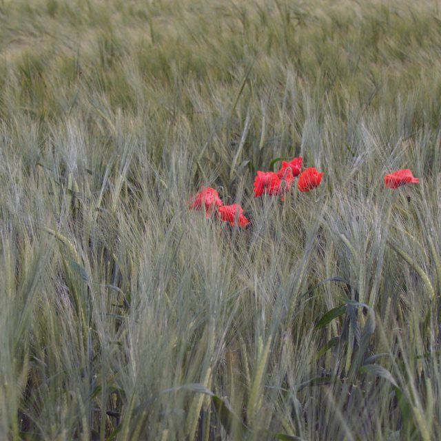 """Poppies in a barley field"" stock image"