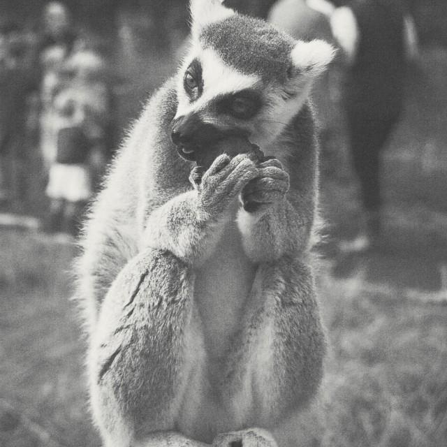 """Munching Lemur"" stock image"