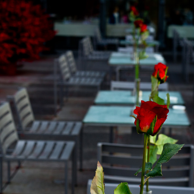 """Table rose"" stock image"