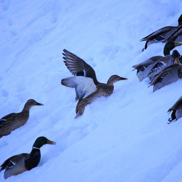 """ducks chase food in snow"" stock image"