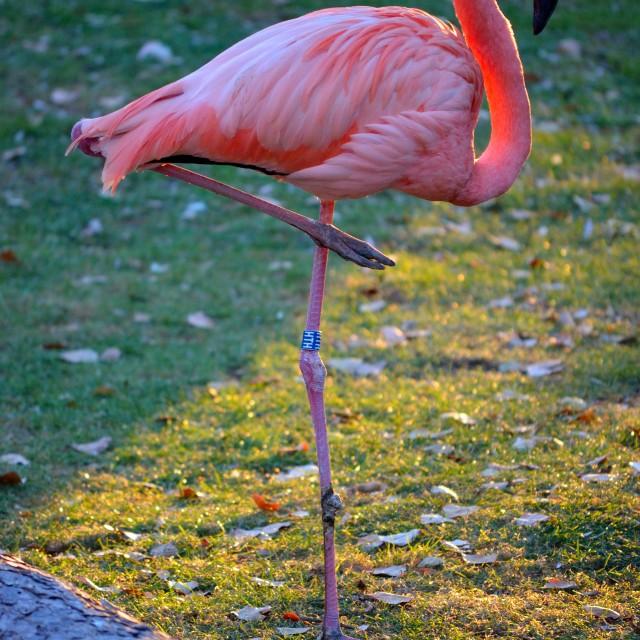 """Pretty Flamingo"" stock image"