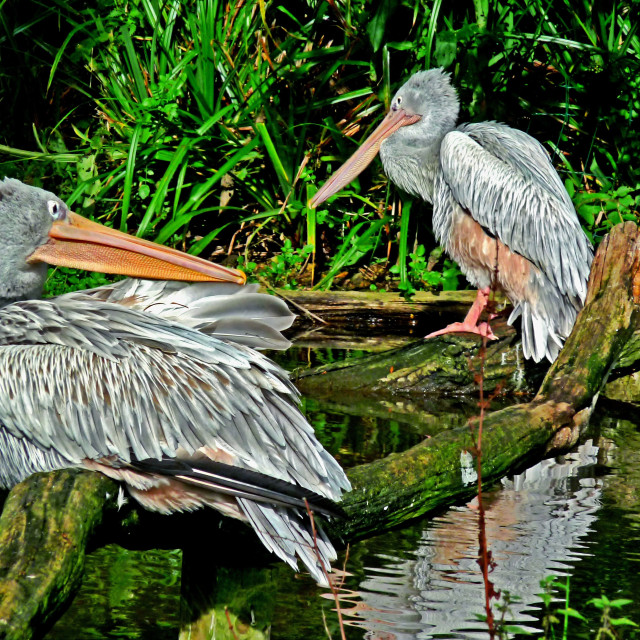 """Storks, fishing & preening."" stock image"