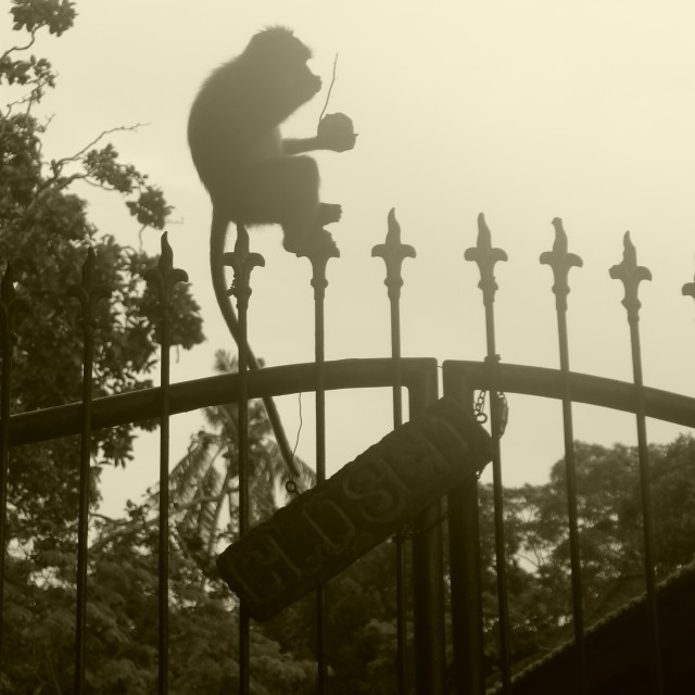 """Monkey in the mist"" stock image"