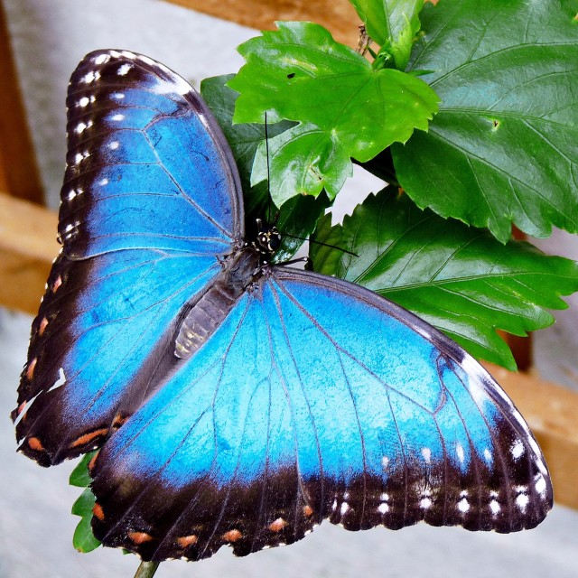 """Blue Morpho Butterfly"" stock image"