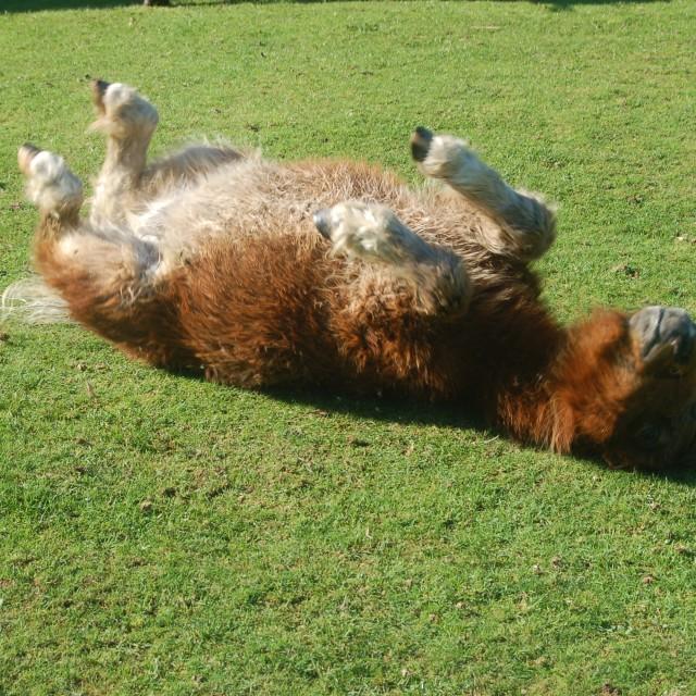 """""""Pony, sunbathing"""" stock image"""