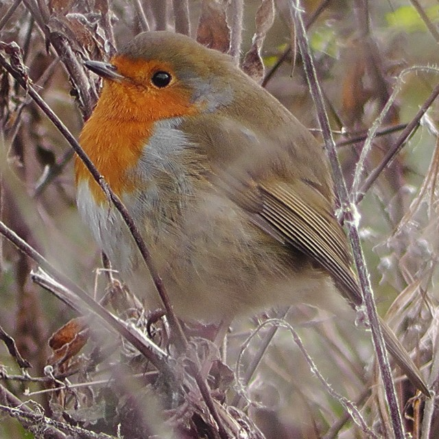 """Robin amongst the weeds"" stock image"