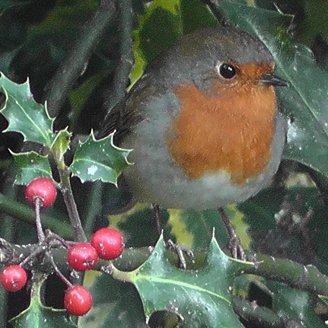 """""""Robin in the holly"""" stock image"""
