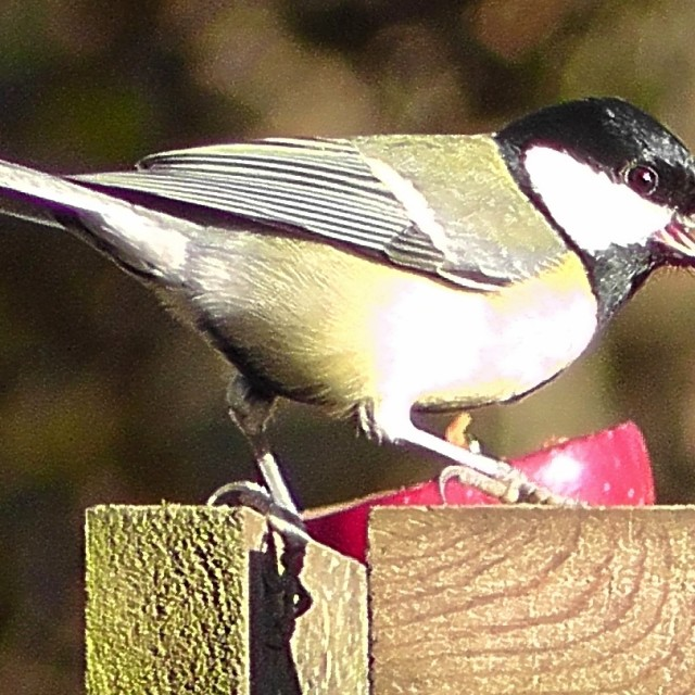 """""""Great Tit at table"""" stock image"""