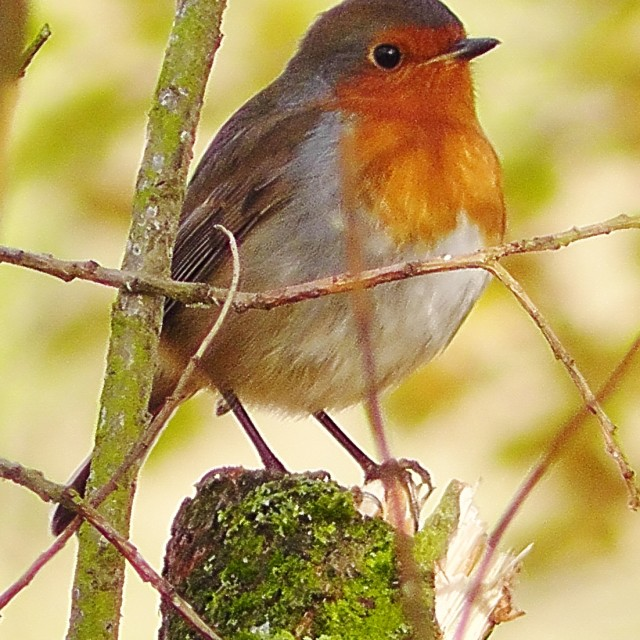 """Robin on the stump"" stock image"