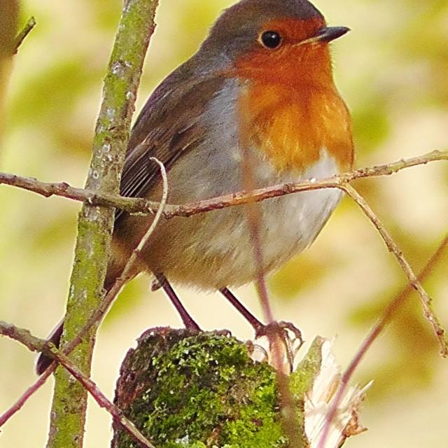 """Robin on the stump"" stock image"
