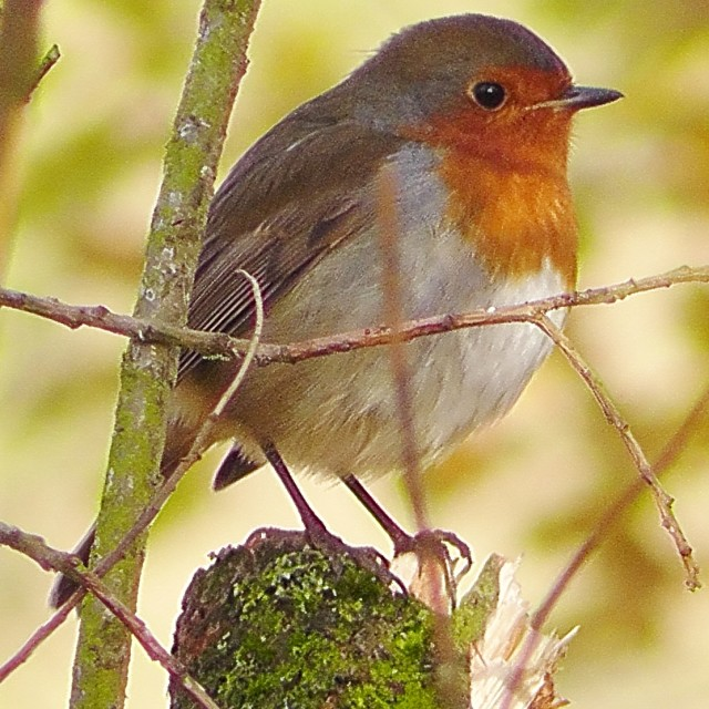 """Robin on the look out"" stock image"