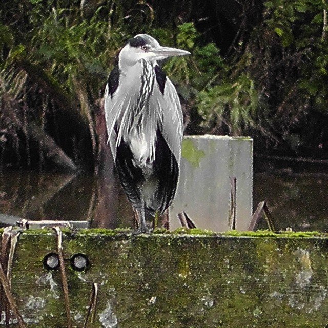 """""""Grey Heron on the lookout"""" stock image"""