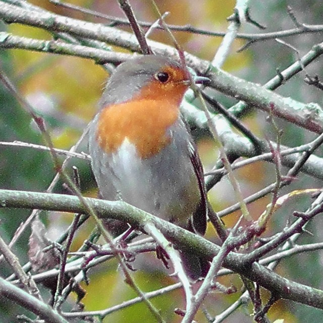 """""""Robin in the hawthorn"""" stock image"""