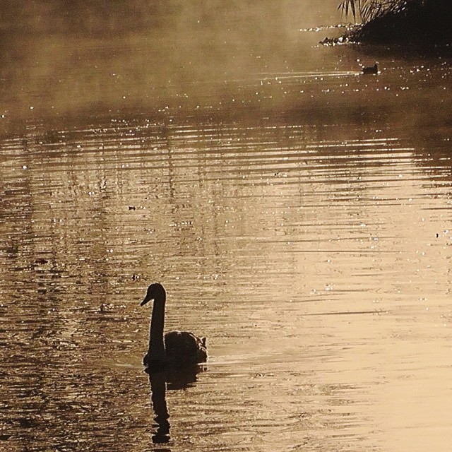 """Swan coming out of the mist"" stock image"